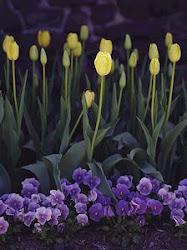 Tulipanes y violetas, mis flores favoritas.