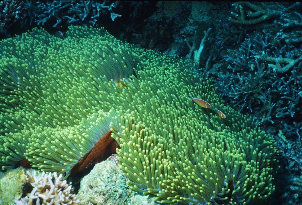 Magnificent Sea Anemone 11