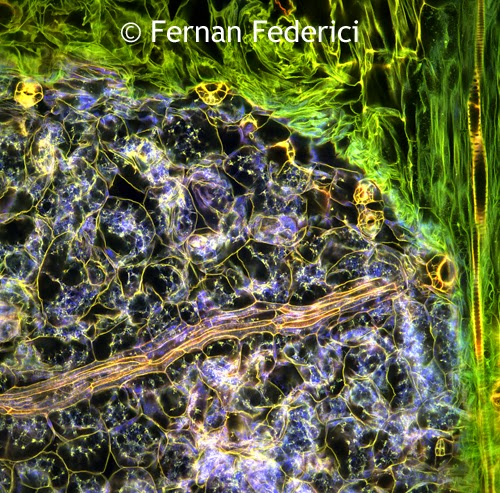 Plant Tissue (C) Fernan Federici