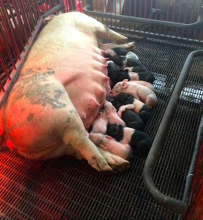 A sow feeds a new litter of piglets