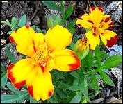 SUMMER FLOWERS STEELHEAD PARK