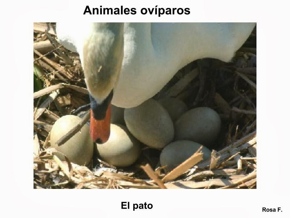 Maestra de Primaria: Animales ovíparos. Vocabulario en imágenes ...