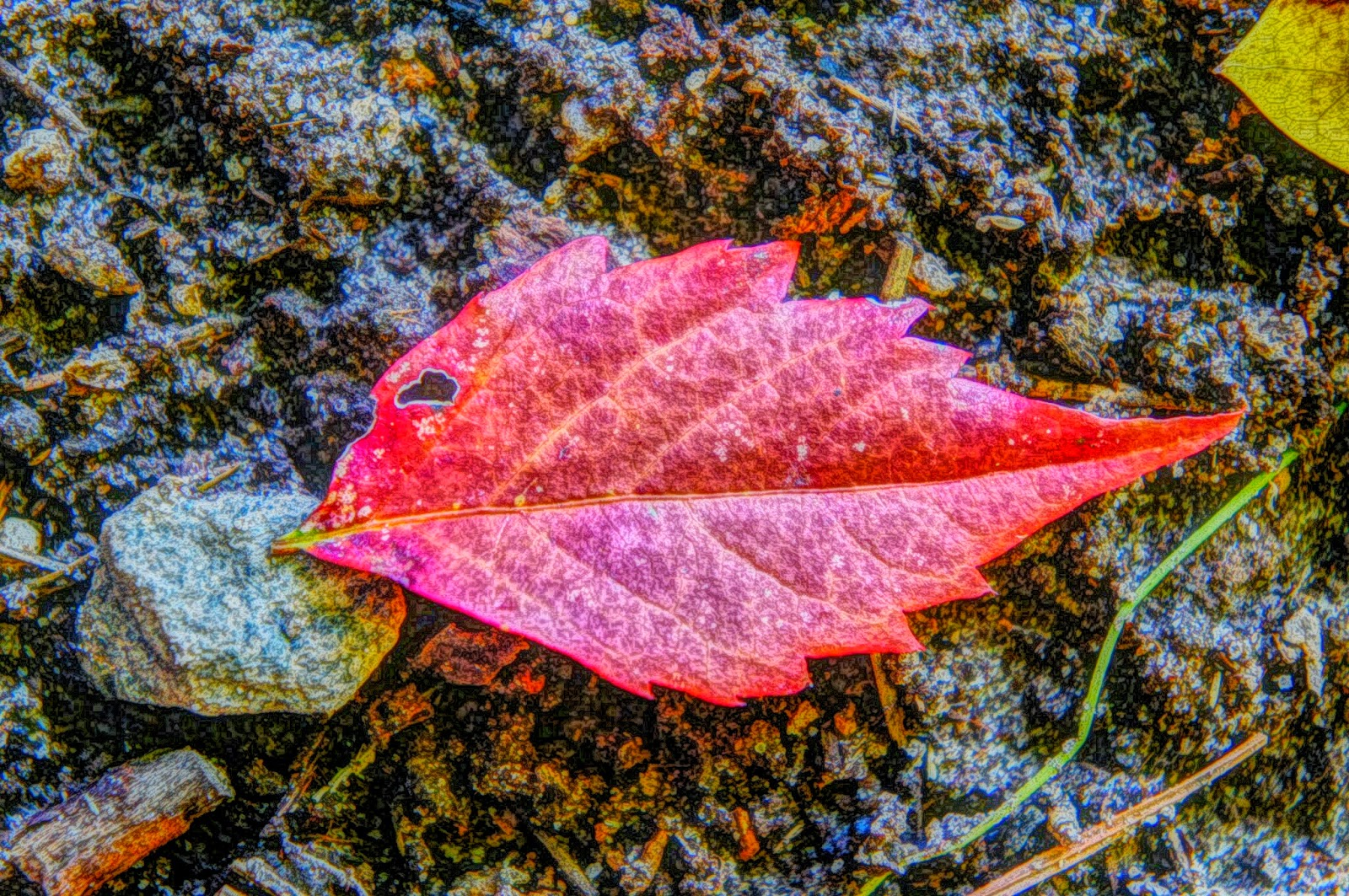 Red leaf free picture
