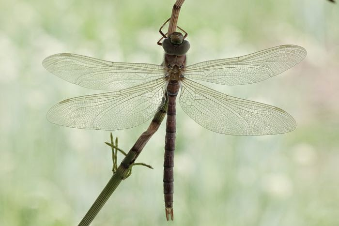 Birth of a dragonfly (10 pics), how a dragonfly is born, dragonfly came out of its shell