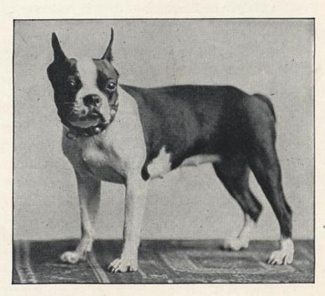 LE TERRIER DE BOSTON - Page 9 Boston+Terrier+Leighton+086