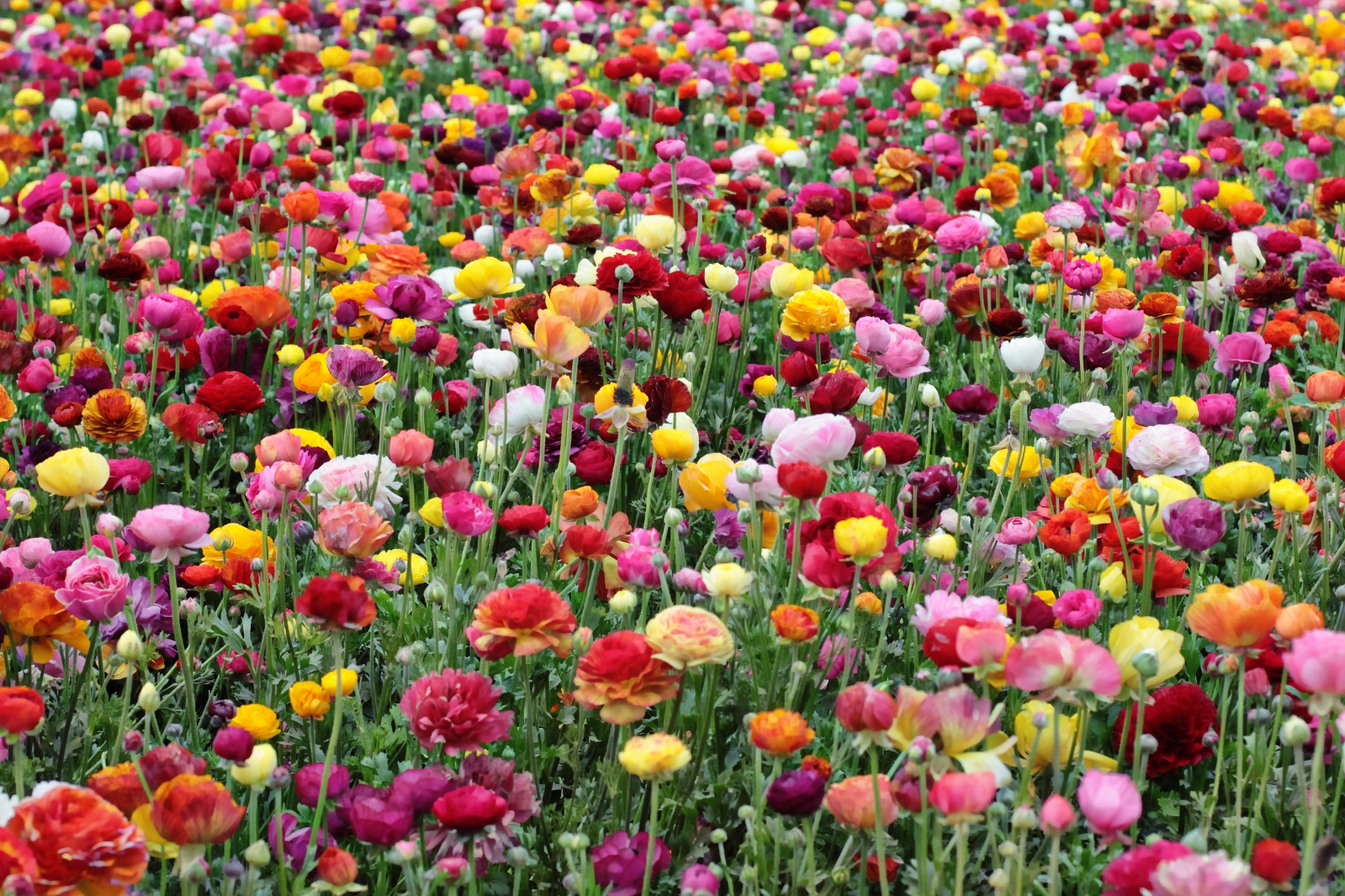 Ford Family s Ranunculus Flower Fields Carlsbad California USA