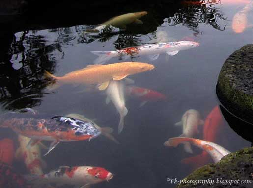 Koi fish nature cultural and travel photography blog for Koi fish culture