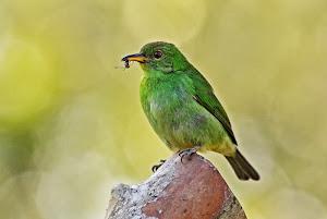Mielero Verde hembra (Chlorophanes Spiza)