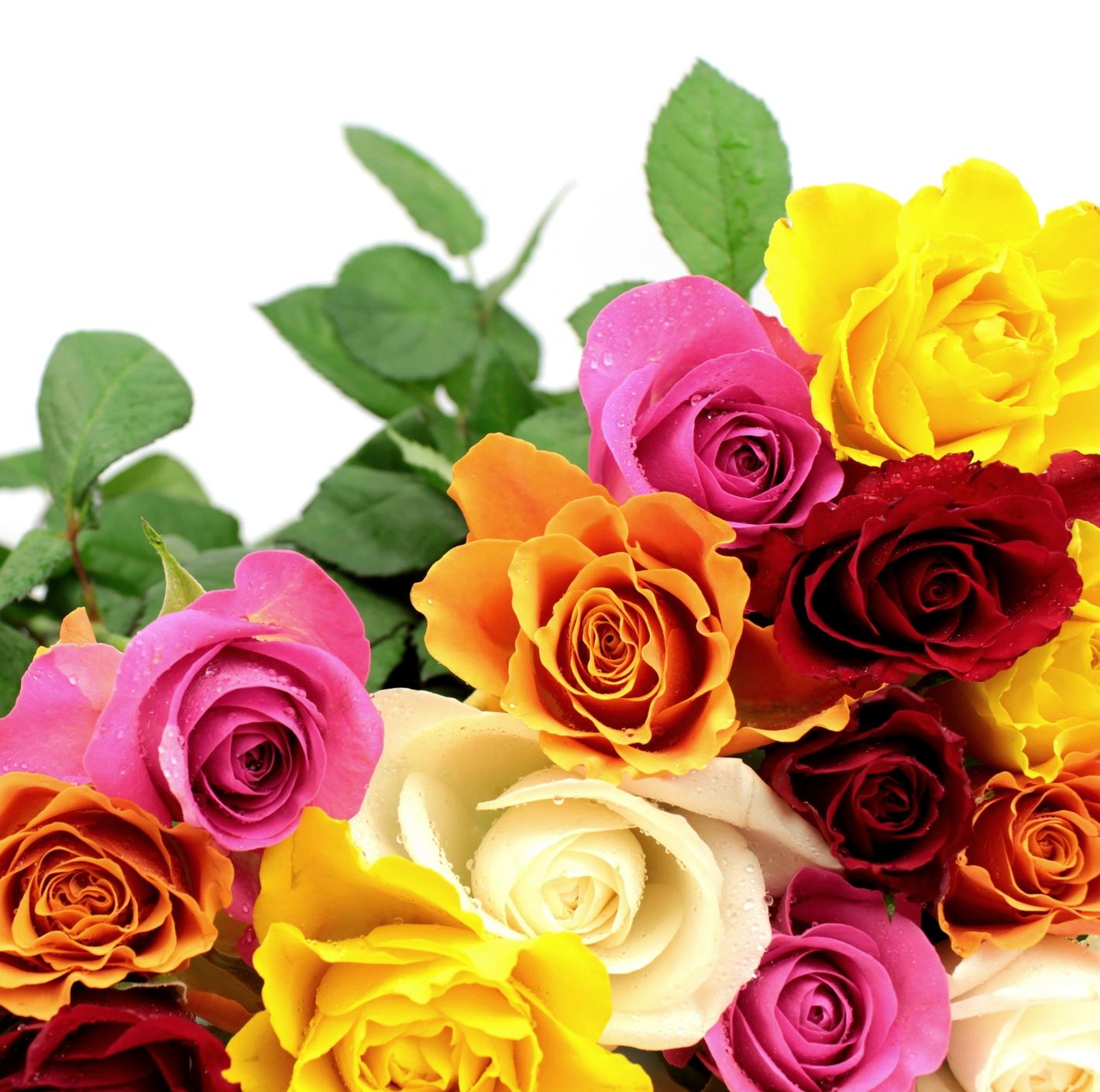 Banco de im genes las fotos m s hermosas de rosas de - Fotos de rosas de colores ...