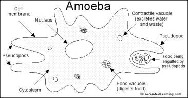 Diagram of an amoeba cell circuit diagram symbols phagocytosis process in amoeba super biology rh thomascs2108 blogspot com protist cell diagram diagram of an amoeba cell ccuart Choice Image