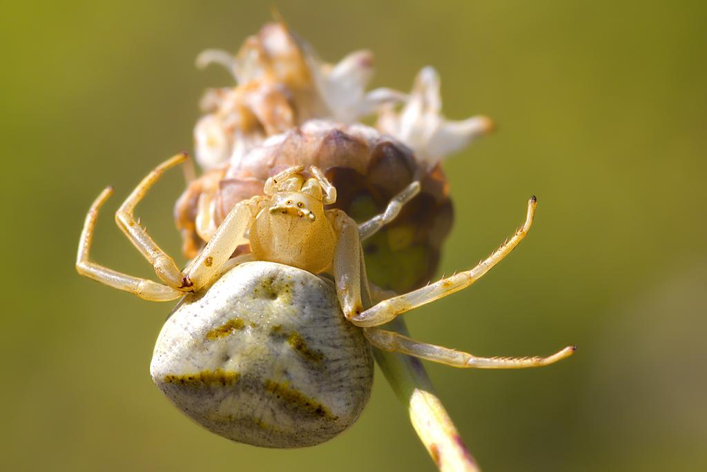 Para ampliar Thomisus onustus (Walckenaer, 1805) Araña cangrejo hacer clic
