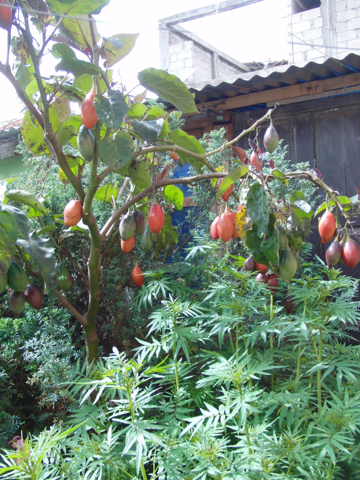 chukiyawunkirïtwa mermelada de sach a tomate tomate de árbol