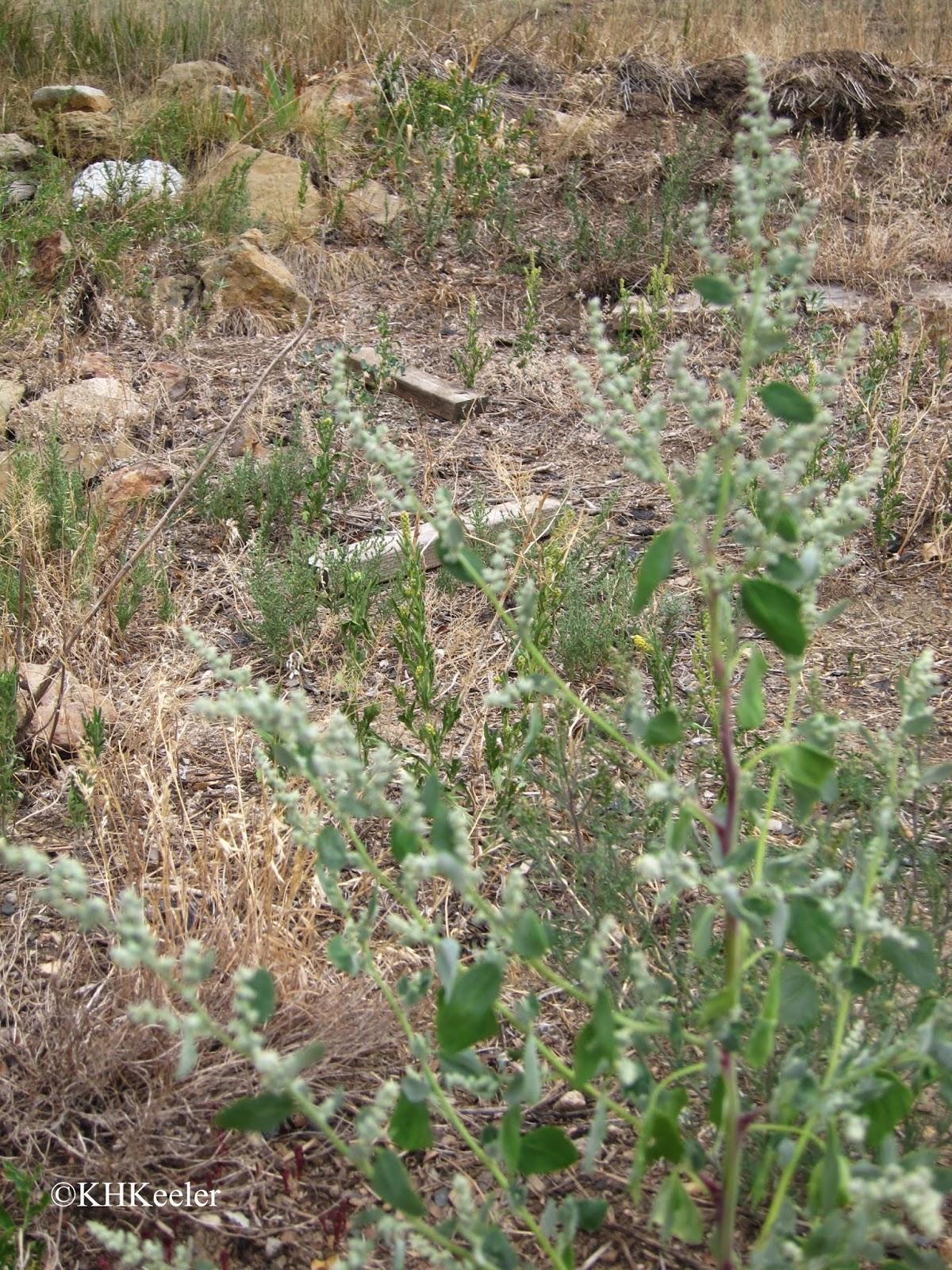 Chenopodium, Amaranthaceae