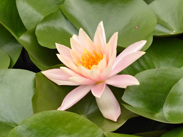 Flower of lotus at the Garden of Dreams in Kathmandu
