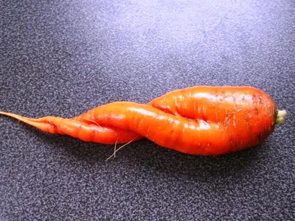 marchewka do królika