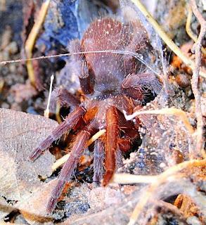 Orange Borneo Tarantula