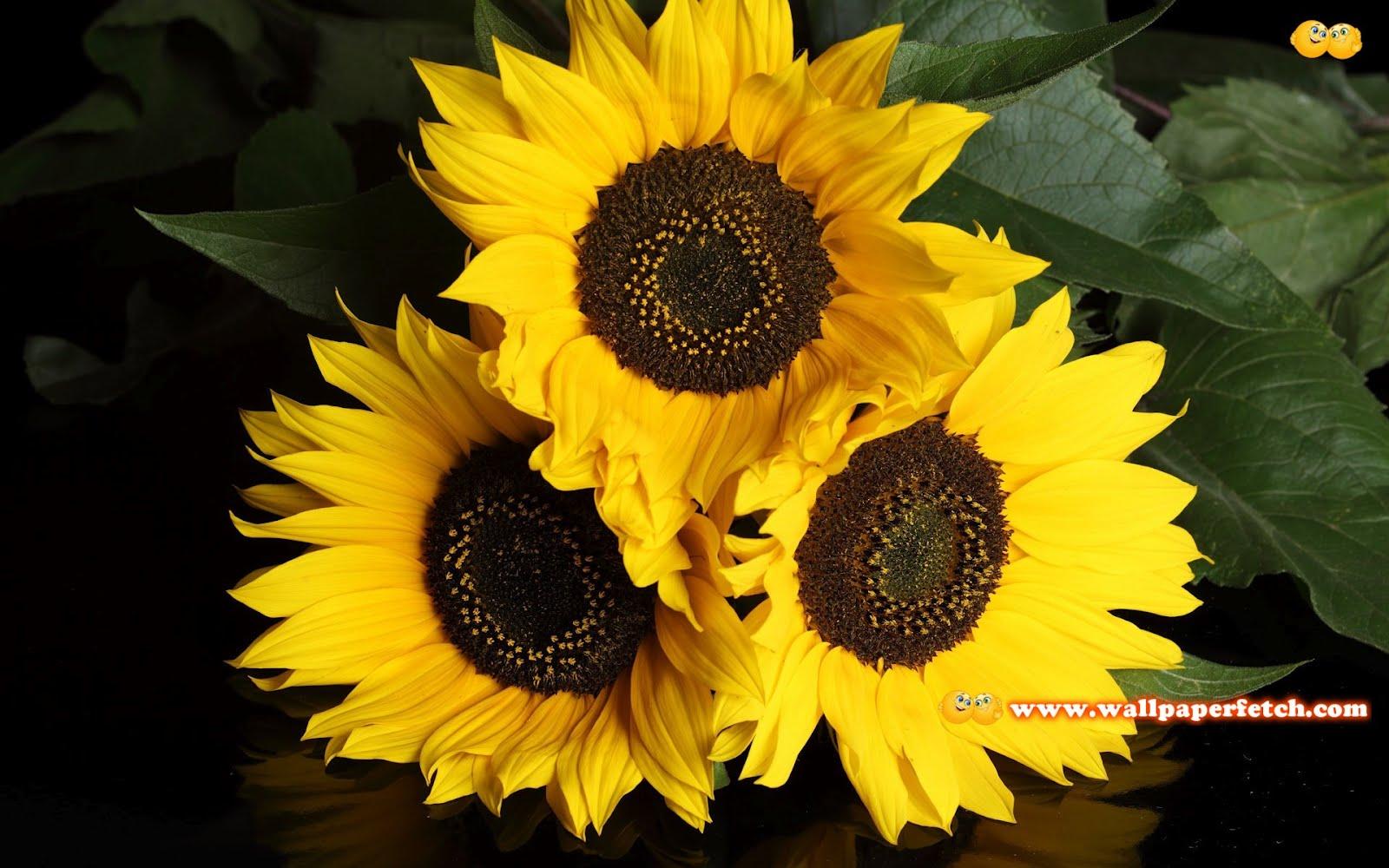 http://1.bp.blogspot.com/-TwCUtE6QeJ0/T1ik-XFpvQI/AAAAAAAAAX0/SDO3c6hgJAI/s1600/sunflowers-4852-1920x1200.jpg