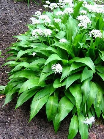 CZOSNEK NIEDŹWIEDZI Allium ursinum
