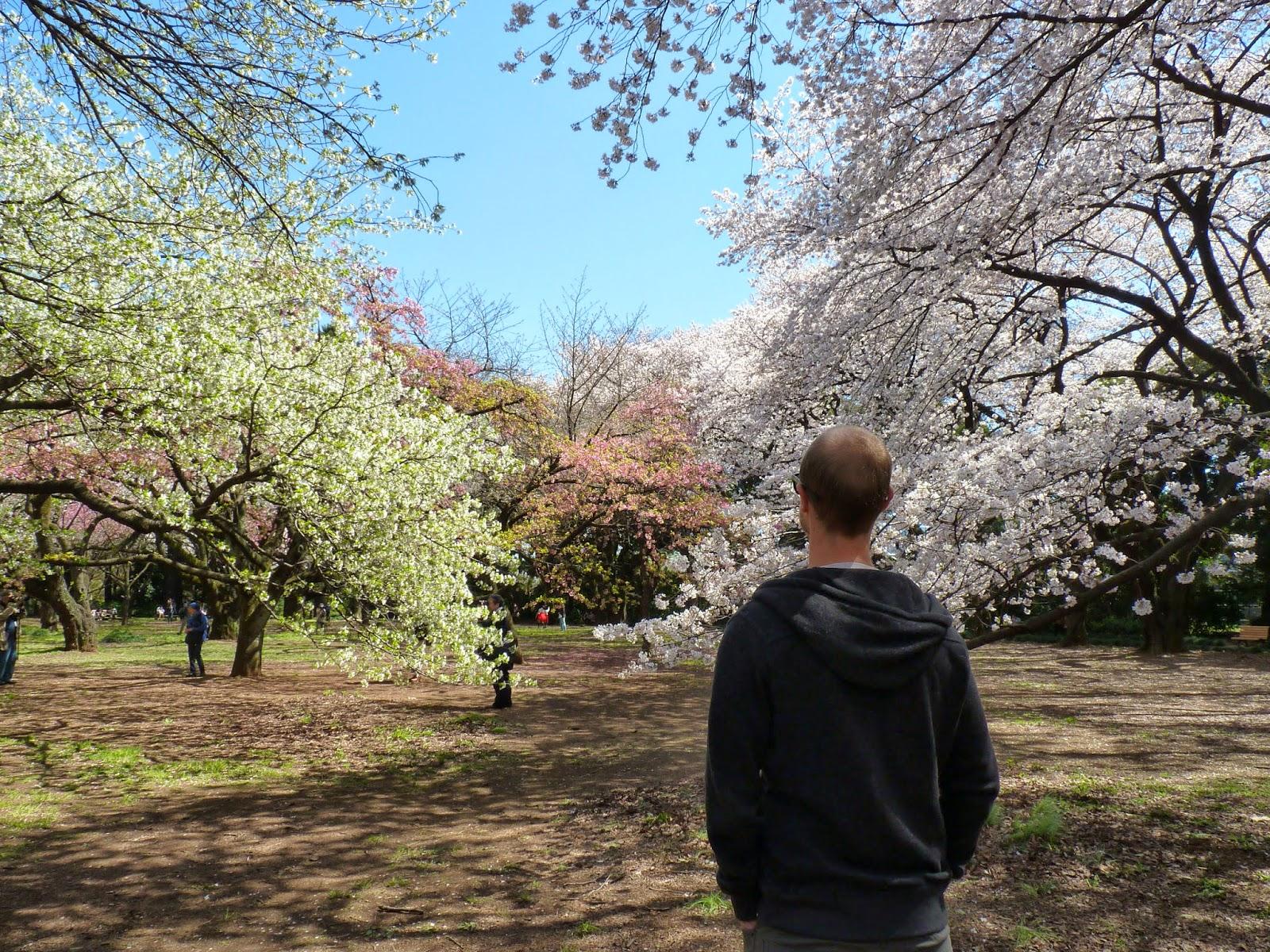 Eu contemplando Sakuras no Japão