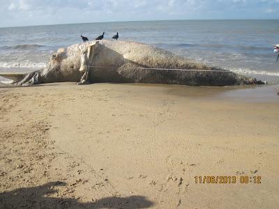 Trata-se de um macho Jubarte adulto, com mais de 13 metros de comprimento que encalhou em avançado estado de decomposição em Barra Velha – Nova Viçosa – B