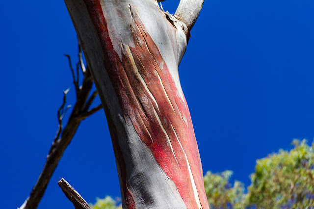 red bark on eucalypt tree