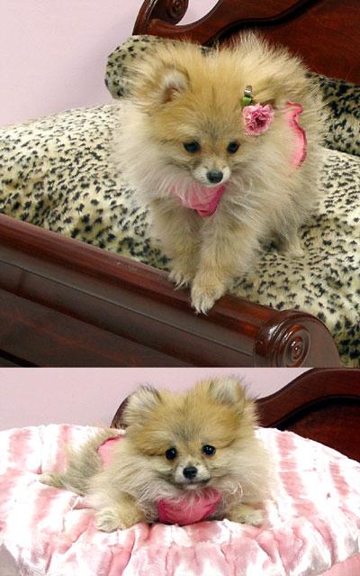 Pomeranian Clothes