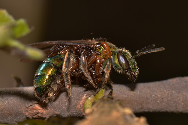 metallic green bee covered with larvae of oil beetles