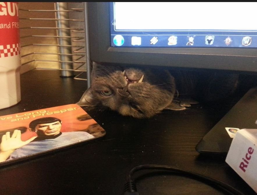 Смешной кот выглядывает из-за монитора