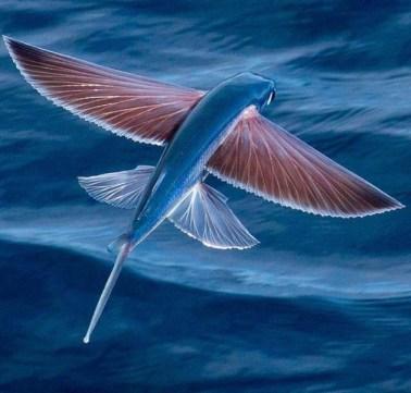 Летающие рыбы появились на Рыбинском водохранилище?