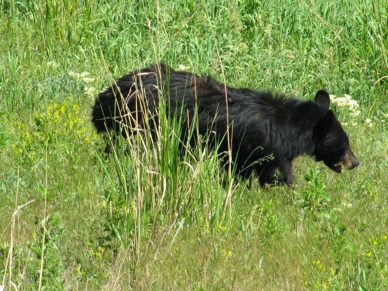 oso de Yellowstone