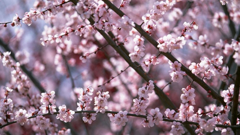 In Japan sakura blossomed