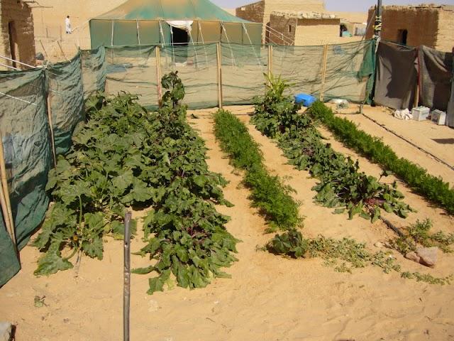 Insostenibilidad de las Naciones Unidas en los campos de refugiados de Tinduf
