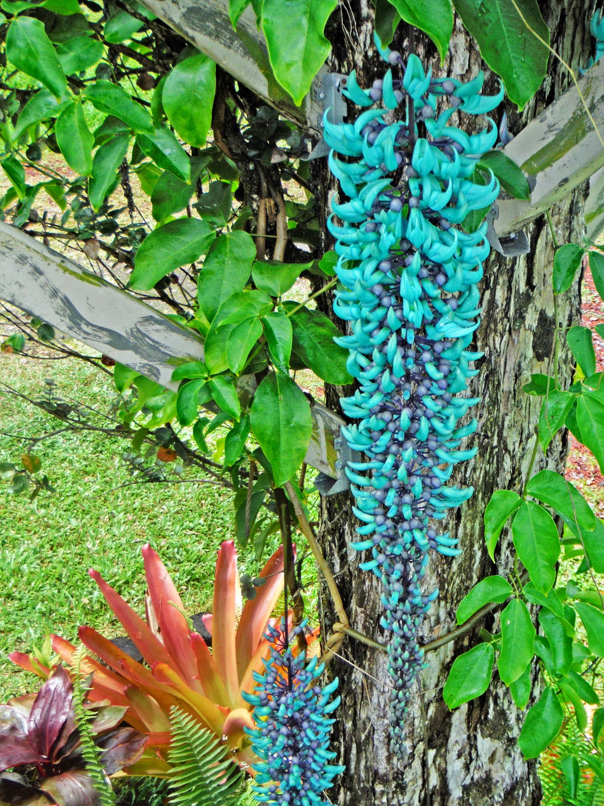 Haysmer hawaii jade vine blooms purple blue 36 blossom izmirmasajfo