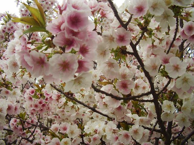 sakura japon japan hanami cerezo flor