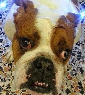 Willow bulldog