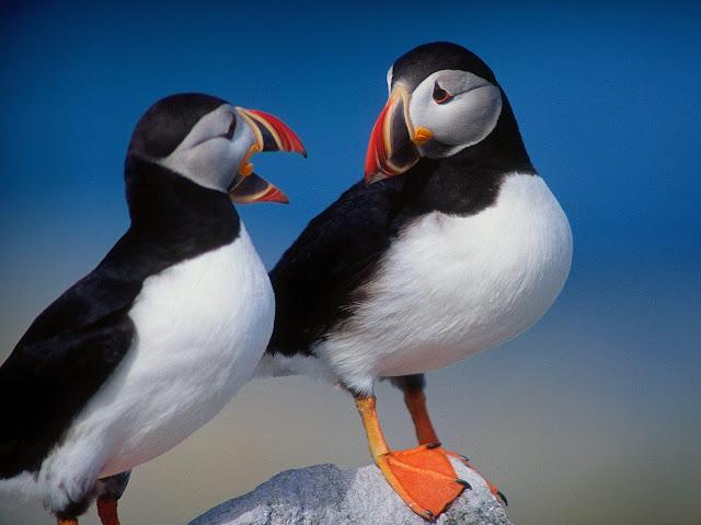 love birds wallpapers