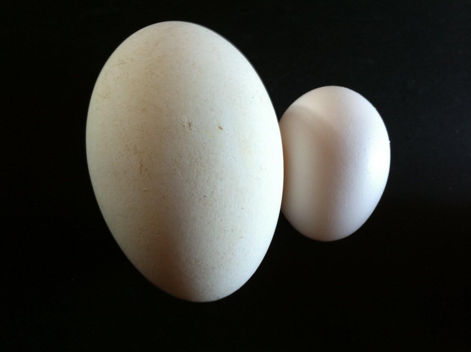 yüksek çözünürlüklü tavuk ve yumurta resmi ariyorum