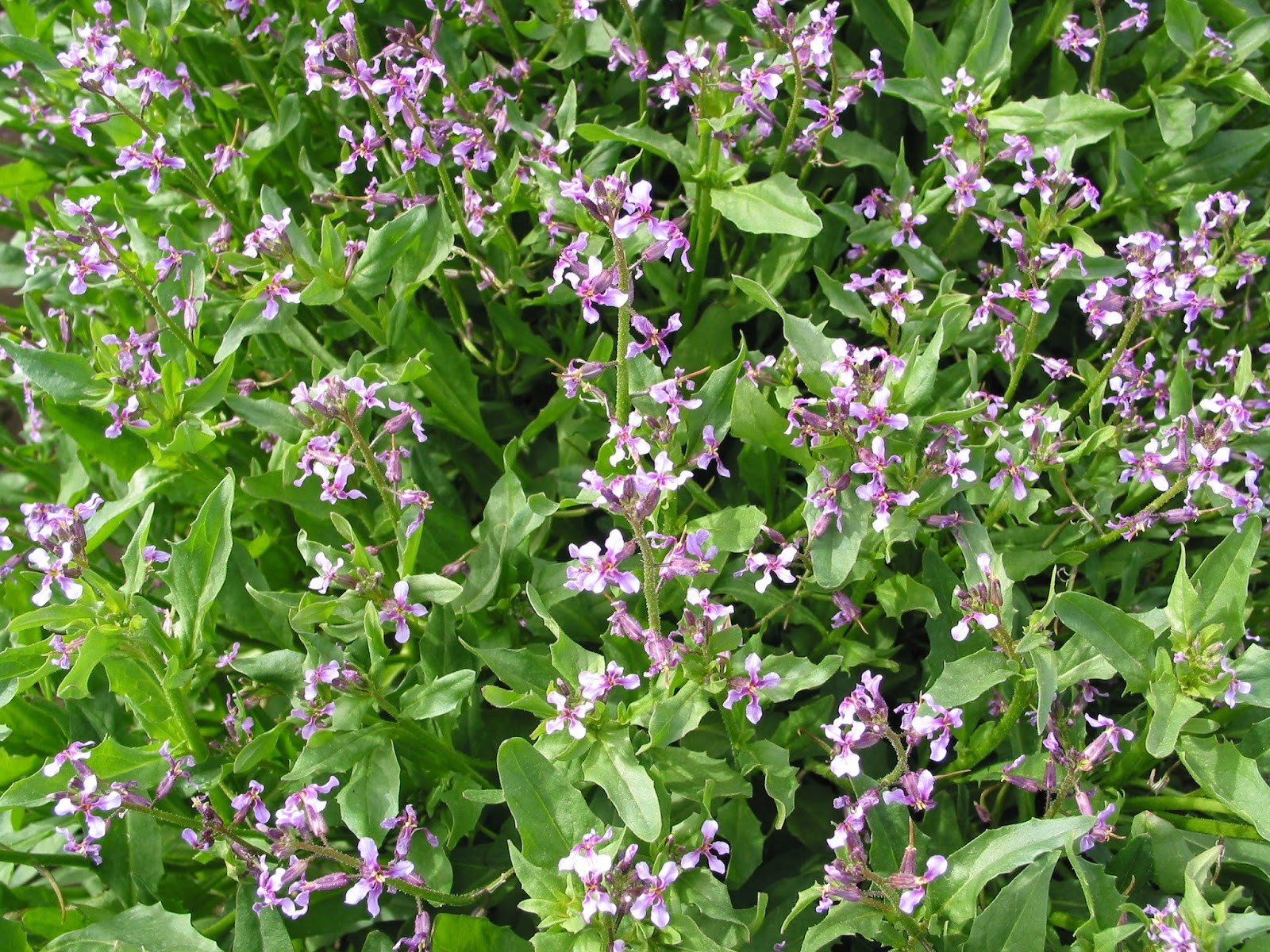 Weeds flower beds - Weed Of The Moment Purple Mustard Haze