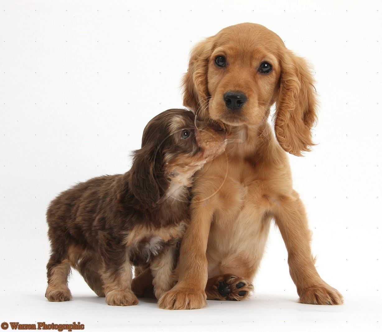 cocker spaniel puppiesGolden Cocker Puppies