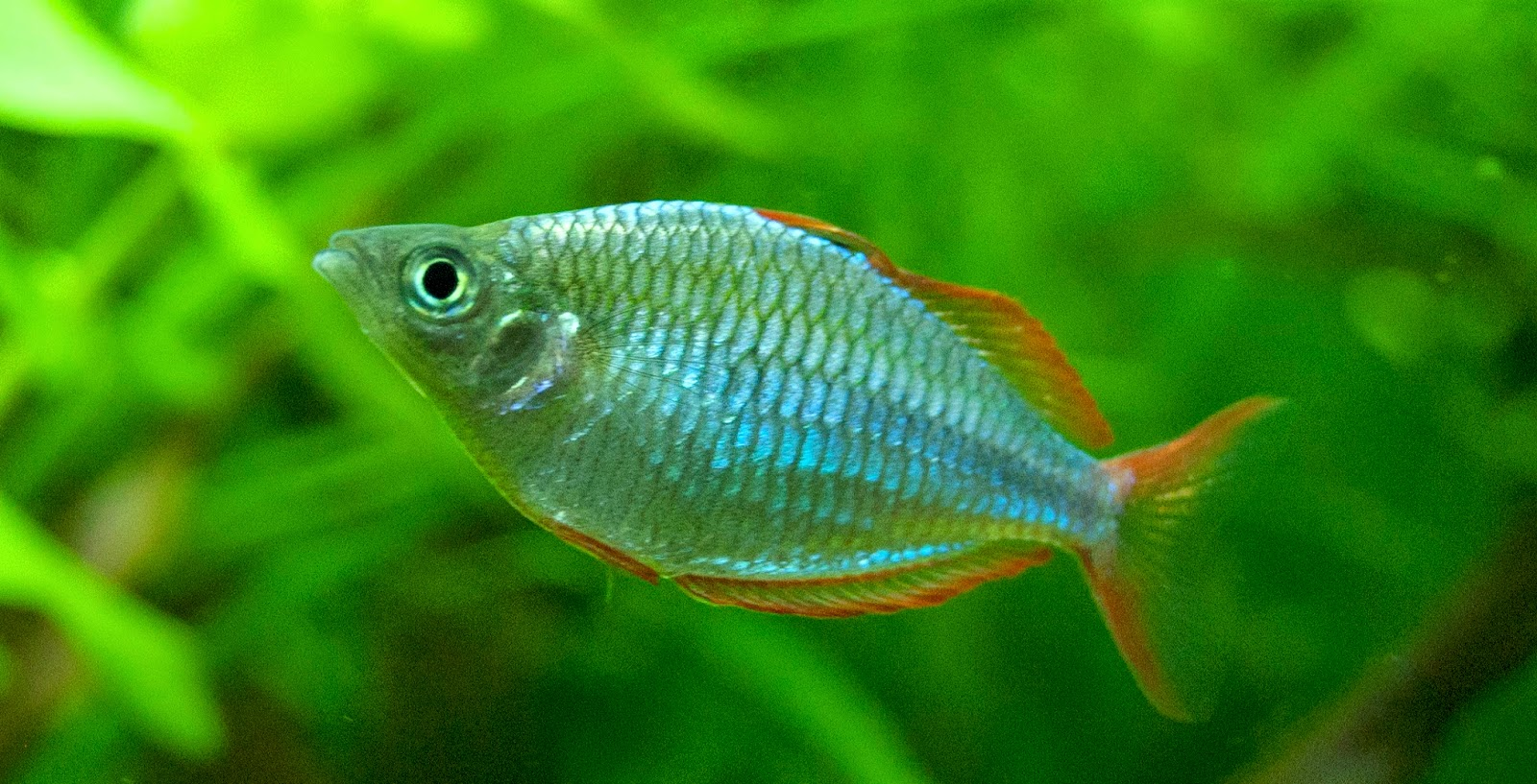 Dwarf Neon Rainbowfish
