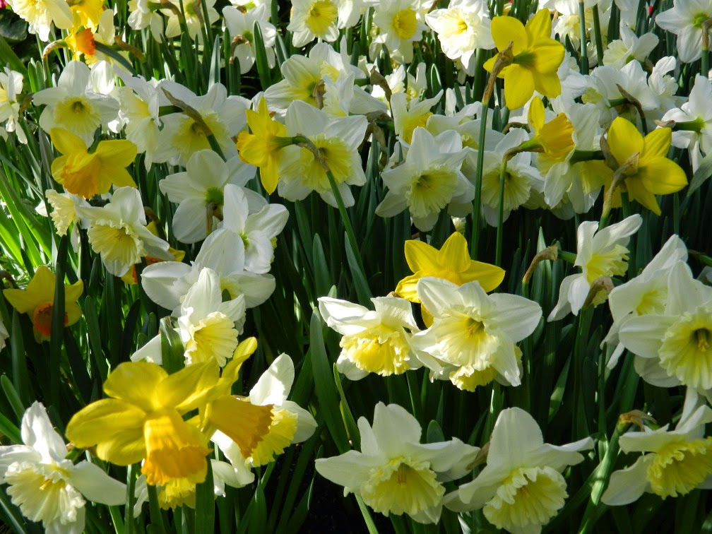 Yellow and white daffodils Allan Gardens Conservatory 2015 Spring Flower Show by garden muses-not another Toronto gardening blog