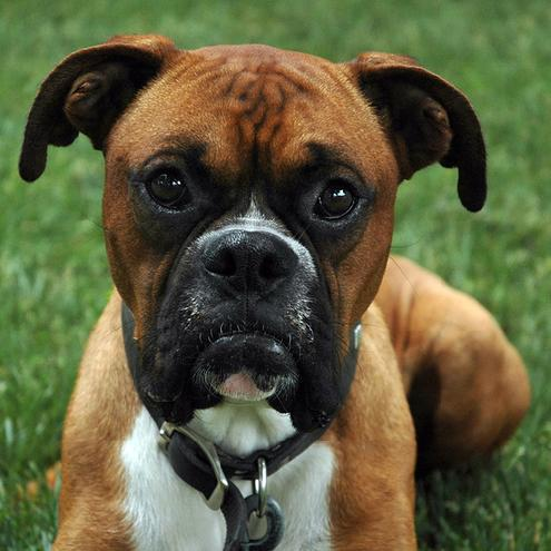 Boxer Puppies Pictures and Information | Puppies Dog Breed Information ...
