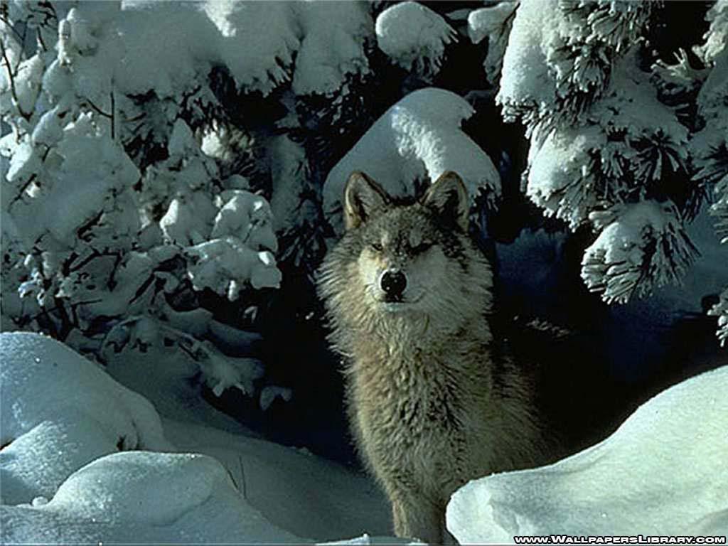 http://1.bp.blogspot.com/-TzaGVZ3SP7M/UPFiuuxGznI/AAAAAAAANLM/kNeUuySf30E/s1600/Snowen+Wolf+Wallpaper.jpg