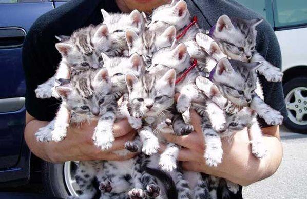 cucciolata gatti