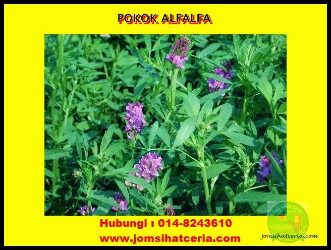 Alfalfa, Promosi,