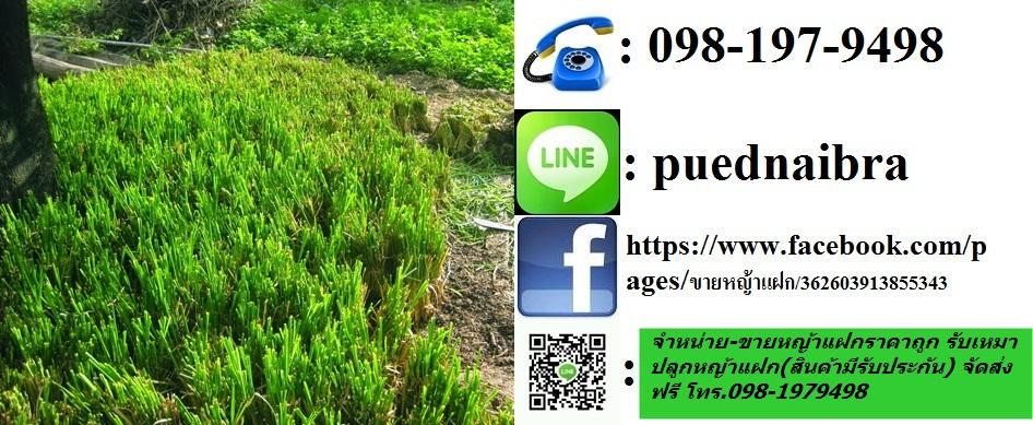 ขายพันธุ์หญ้าแฝก ต้นละ30สต.หญ้าแฝกถุงชำ Tel.098-1979498 รับเหมาปลูกหญ้าแฝก#ถูกและดีที่นี้#จัดส่ง