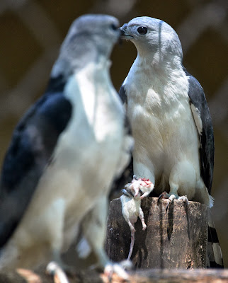 A couple of Gray-headed Kite (Leptodon cayanensis) kill a rat at the zoo of Rio, Brazil.