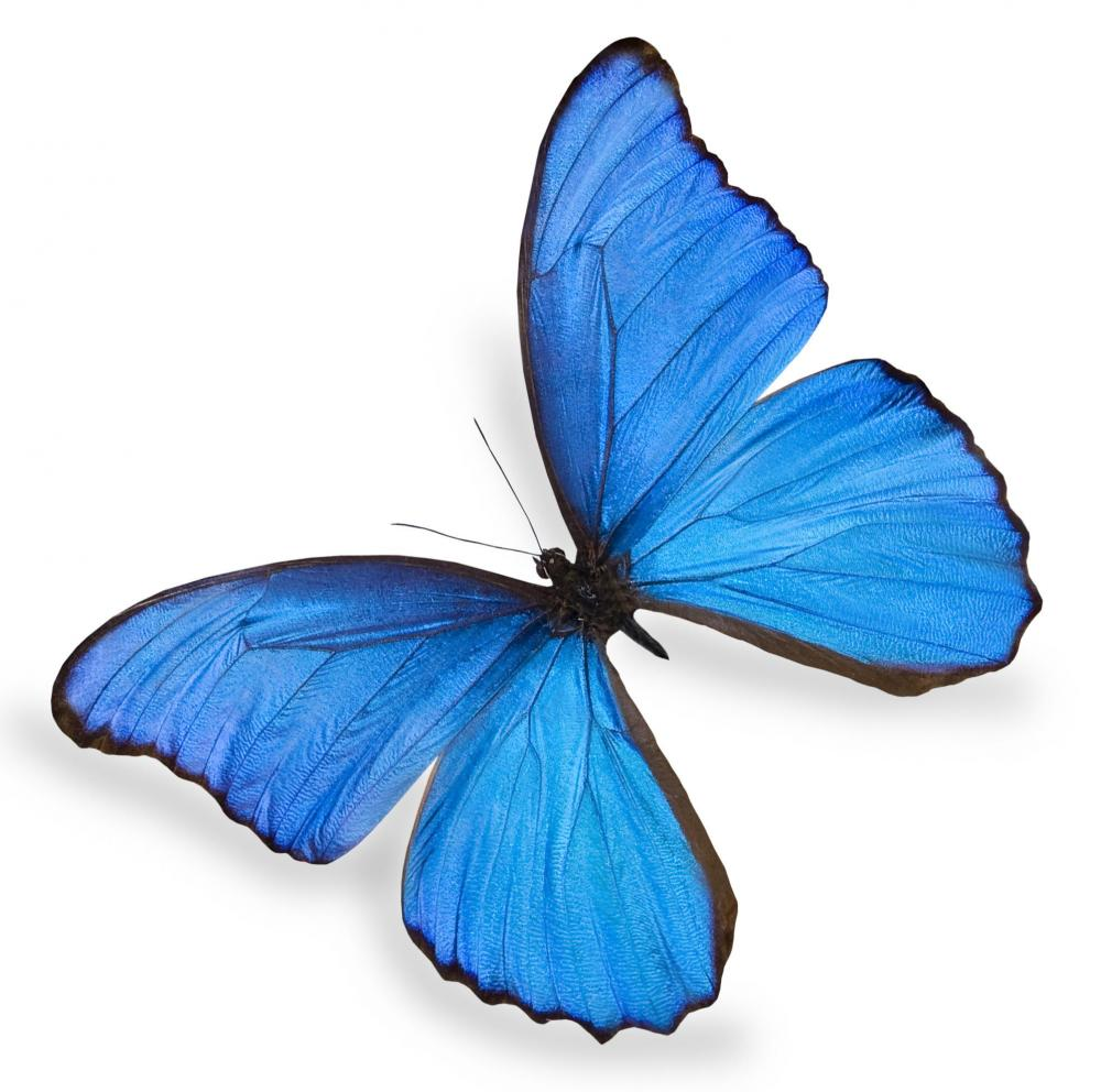 new blue butterfly pictures - photo #17