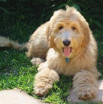 Animal Encyclopedia: Goldendoodle Adult Goldendoodle