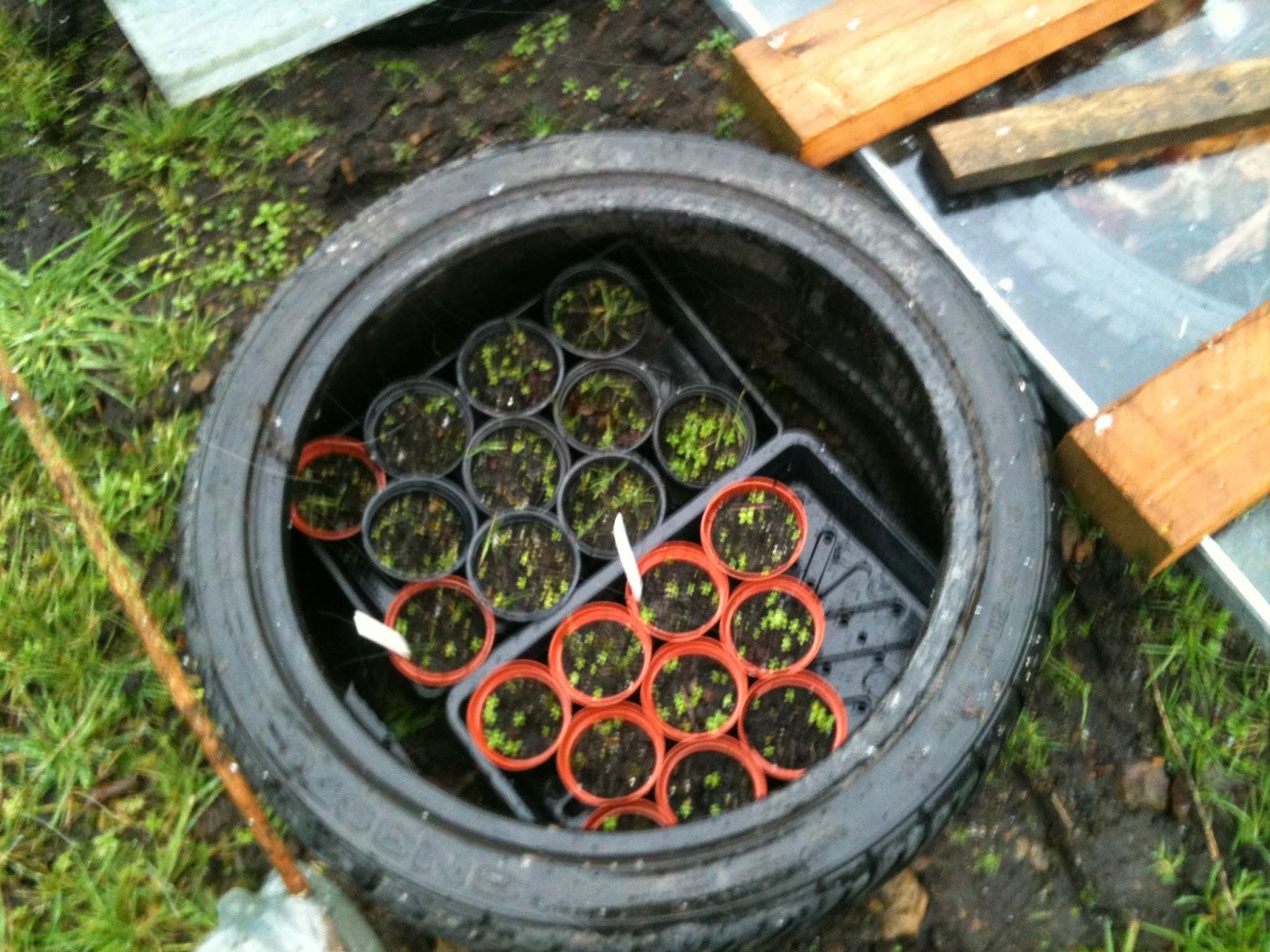 Using tyres as coldframes and waterbutts #lifeonpigrow #makedoandmend